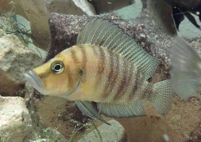 Ficha: Altolamprologus compressiceps