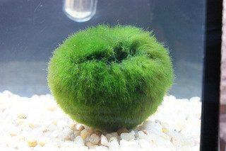 Eliminar Cladophora del acuario con agua oxigenada