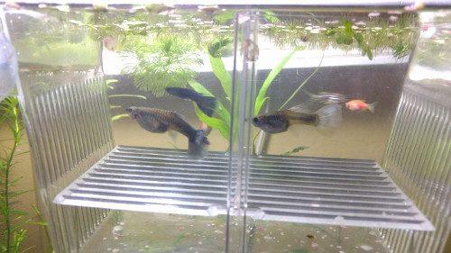 Paridera para guppies y otros peces viviparos y ovoviviparos (mollys, platys y xiphos)