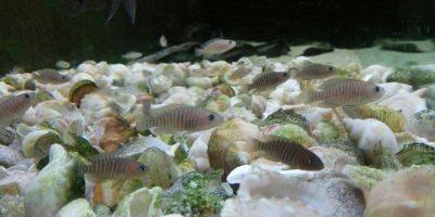 Colonia de conchicolas multis (Neolamprologus multifasciatus), sobre lecho de conchas