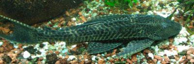 Plecostomus o pleco, típico pez limpiador, pero NO deberíamos tener en nuestro acuario