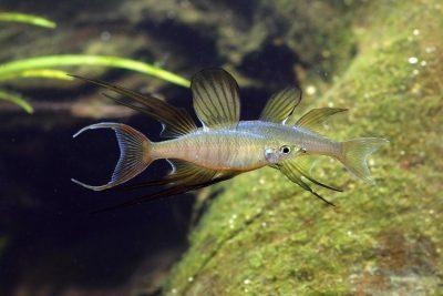 Dos machos de Iriatherina werneri. Pez arcoíris de aleta-hebra o pez arcoíris de aleta filamentosa