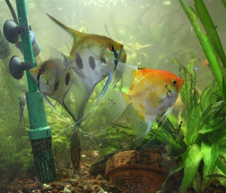Escalares o pez Ángel: ¿Cuantos meto en mi acuario?