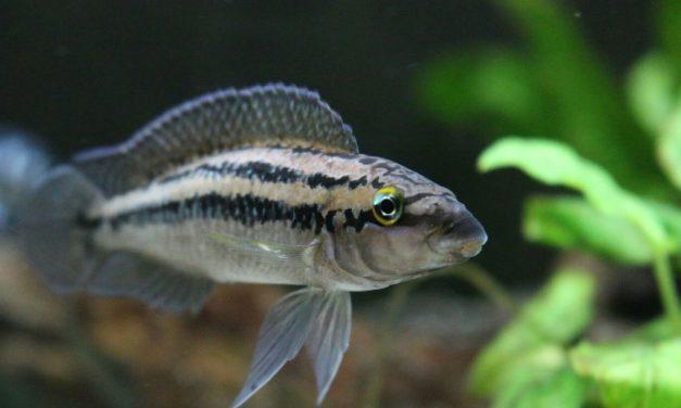 Ficha: Julidochromis dickfeldi