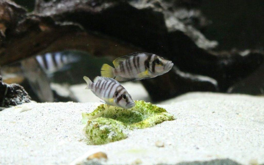 Altolamprologus sumbu shell ¿Son una especie diferente?