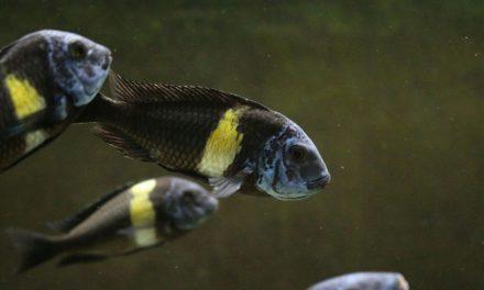 Tropheus duboisi – Ficha y acuario recomendado