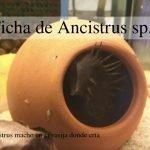 Ficha de Ancistrus sp.