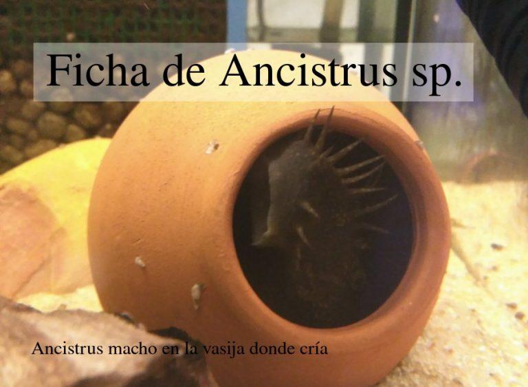 Ancistrus: Ficha de características y acuario necesario