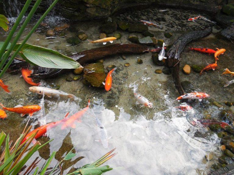 Primeras cosas a saber si te gustan los peces dorados o Goldfish.